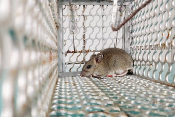 ネズミ退治