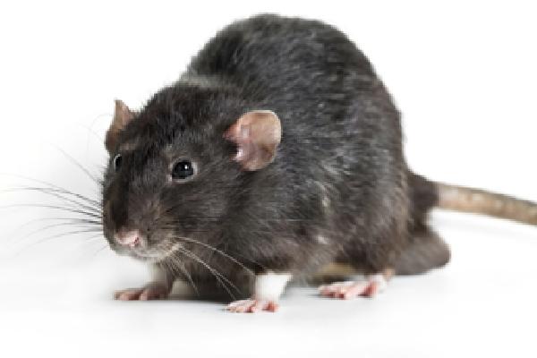症状 ネズミ アレルギー